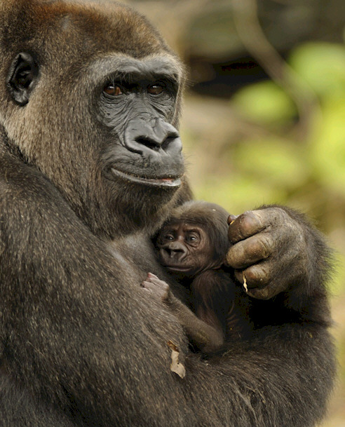 Disney's Animal Kingdom Welcomes Birth of Endangered Gorilla