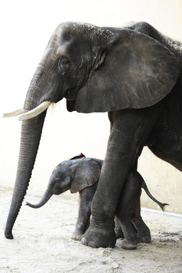 Female Baby Elephant Born at Disney's Animal Kingdom